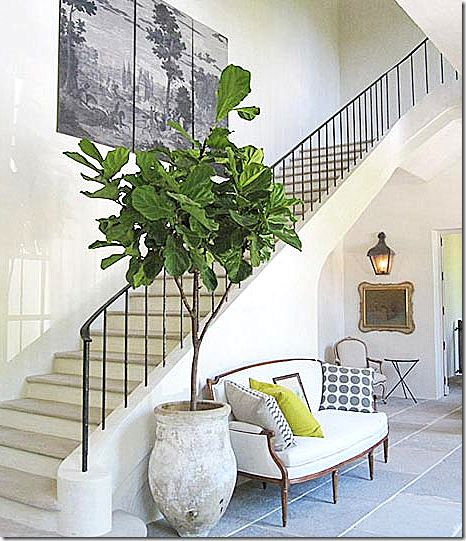 Fiddle-Leaf Fig