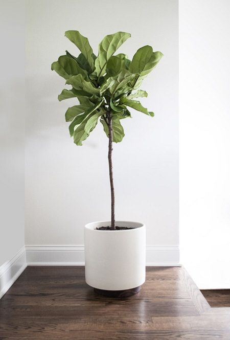 fiddle-leaf-fig-2